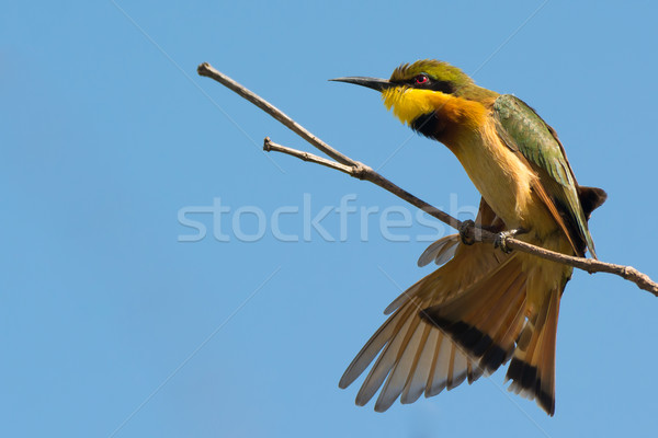 Little Bee-Eater having a good stretch Stock photo © davemontreuil