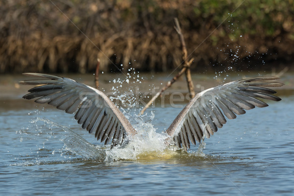 Pink-backed Pelican with head submerged and wings spread Stock photo © davemontreuil
