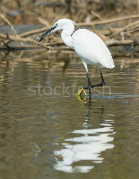Witte westerse reiger naar privacy eten Stockfoto © davemontreuil