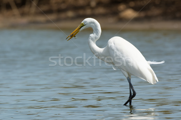 A Great White Egret (Egretta alba) which has caught a fish Stock photo © davemontreuil