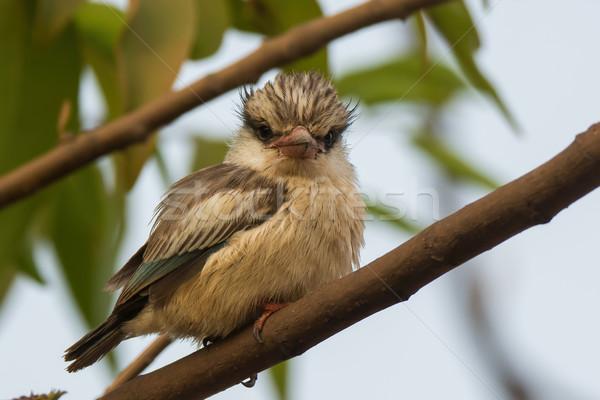 Fluffy gestreift Eisvogel schauen Vogel schönen Stock foto © davemontreuil