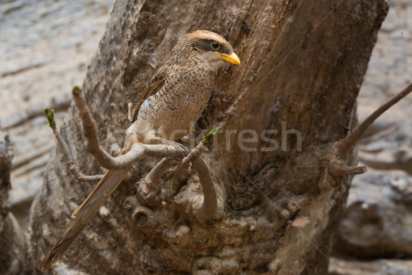 A Yellow-billed shrike (Corvinella corvina) perched on a branch Stock photo © davemontreuil
