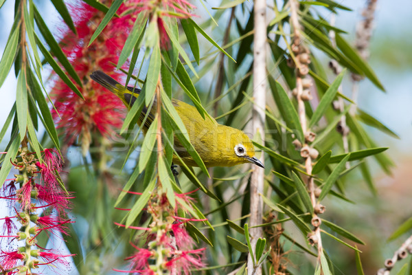 African yellow white-eye (Zosterops senegalensis) in Bottlebrush Stock photo © davemontreuil