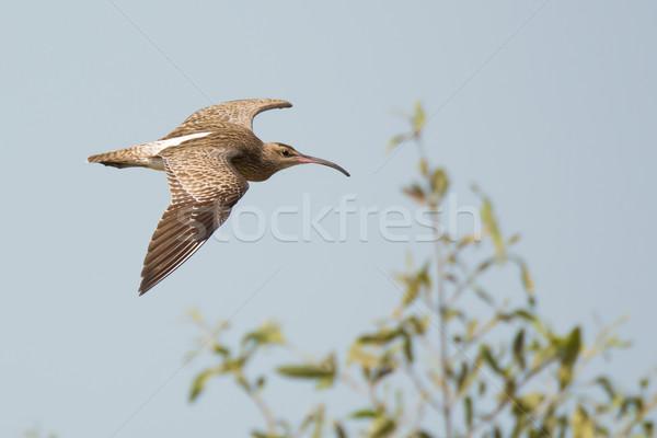 Whimbrel (Numenius Phaeopus) in flight Stock photo © davemontreuil
