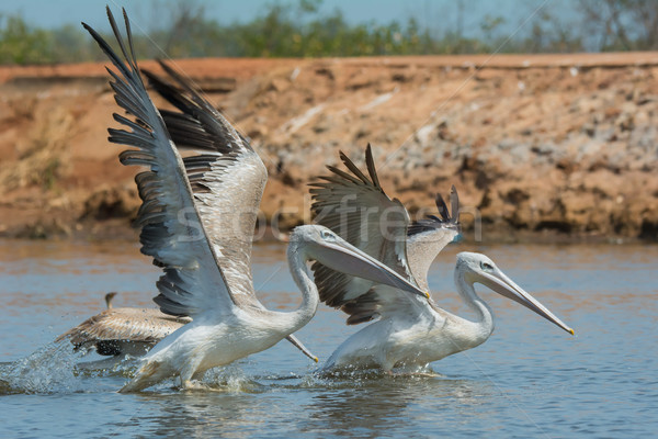 Pink-backed Pelicans rushing forward to catch fish Stock photo © davemontreuil