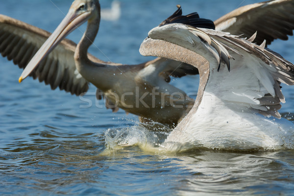 Pink-backed Pelicans rushing forwards to dive for fish Stock photo © davemontreuil
