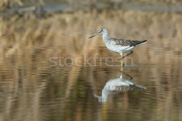 Plin de noroi bancă apă natură pasăre mers Imagine de stoc © davemontreuil