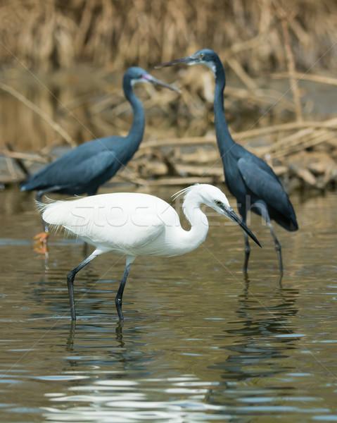 Witte westerse reiger vissen vogel lopen Stockfoto © davemontreuil