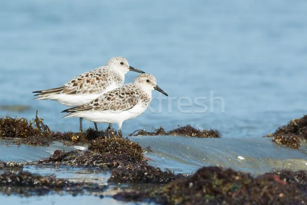 Kettő áll hínár árapály víz madár Stock fotó © davemontreuil