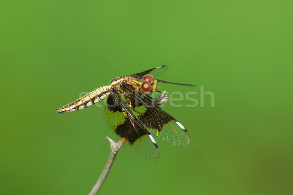 West African Dragonfly with big eyes Stock photo © davemontreuil