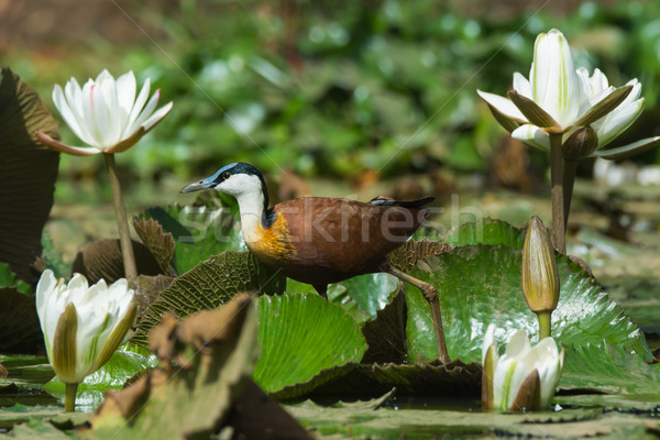 African Jacana walking through lily pads and white lilies Stock photo © davemontreuil