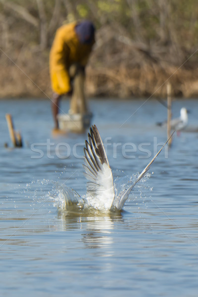 Caspian Tern resurfacing with fisherman in the background Stock photo © davemontreuil
