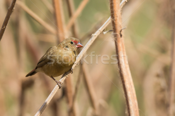 Female Red-billed Firefinch perched on dried stalks Stock photo © davemontreuil