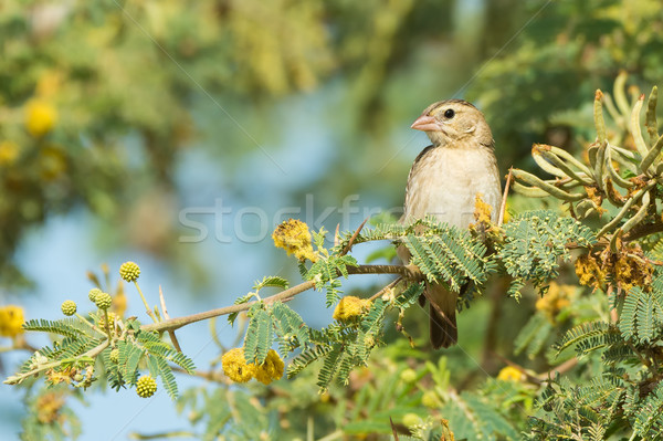 Stock photo: Northern Red Bishop perched on a branch with yellow flowers