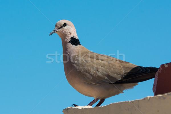 鳩 見える 肩 壁 青 美しい ストックフォト © davemontreuil