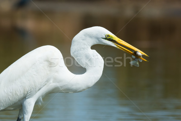 A portrait of a Great White Egret (Egretta alba) with a captured Stock photo © davemontreuil