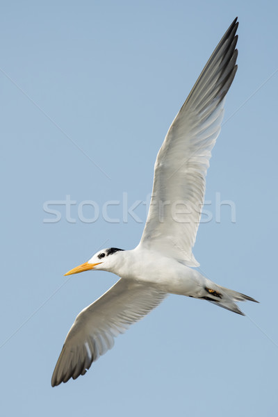 A Royal Tern (Thalasseus maximus) banking in flight Stock photo © davemontreuil