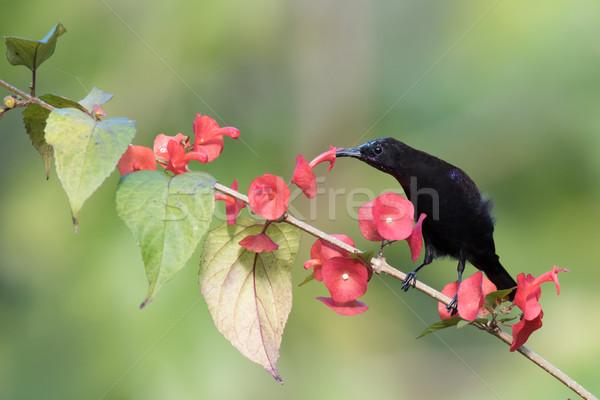 Zwarte drinken nectar bloemen afrika roze Stockfoto © davemontreuil