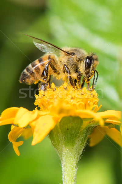 Common bee (Apis melifera) gathering pollen from a flower Stock photo © davemontreuil