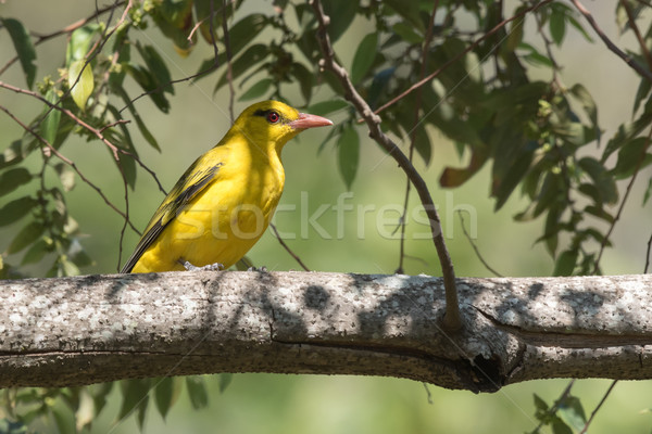 Stock photo: African golden oriole (Oriolus auratus) perched on a branch