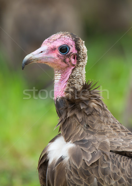 Hooded Vulture Close-up Stock photo © davemontreuil