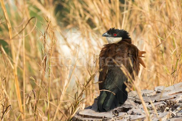 セネガル 風の強い 日 鳥 美しい ストックフォト © davemontreuil