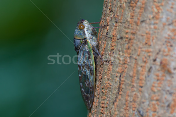 Sideview of Large Cicada Stock photo © davemontreuil