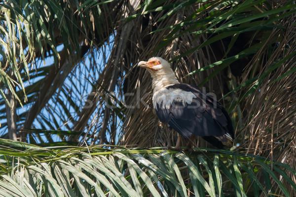 Dögkeselyű pálmafa pálma madarak gyönyörű ül Stock fotó © davemontreuil