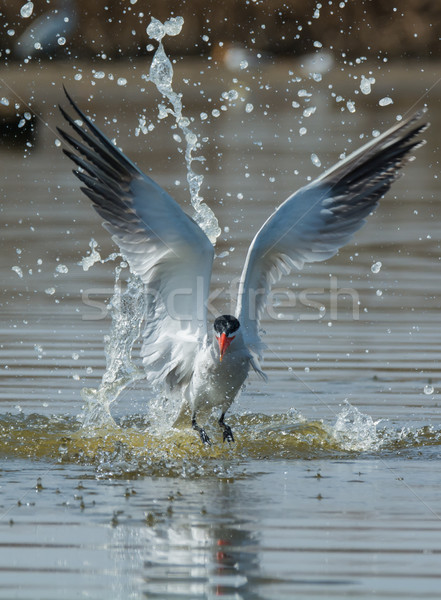 Caspian Tern with nice splash taking to the air after a dive Stock photo © davemontreuil