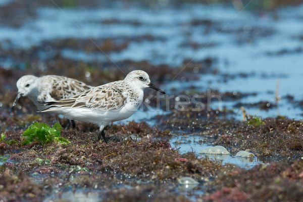 2 Sanderlings (Caladris alba) standing on a seaweed strewn beach Stock photo © davemontreuil