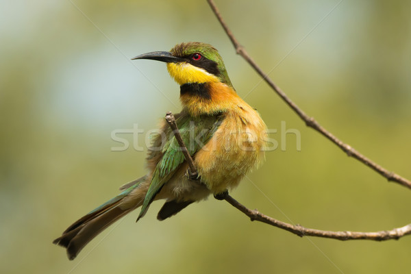 A Little-Bee Eater (Merops pusillus) looking up from preening Stock photo © davemontreuil