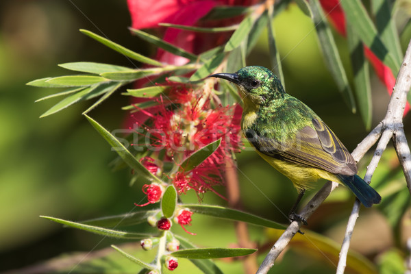 Collared sunbird (Hedydipna collaris) female perched by a bottle Stock photo © davemontreuil