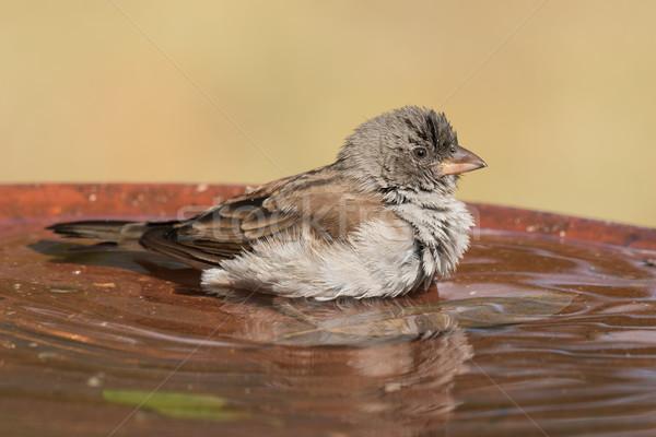 Stockfoto: Zuidelijk · mus · veren · vogel · bad · water