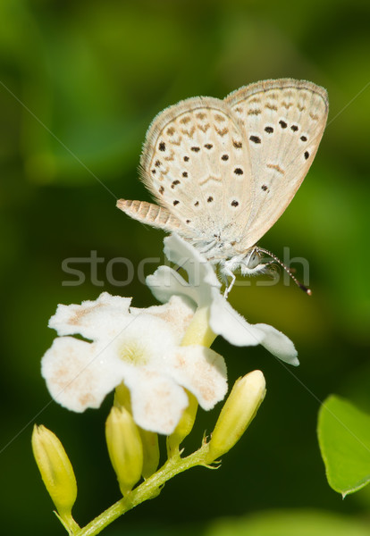 Stok fotoğraf: Afrika · çim · mavi · kelebek · içme · nektar