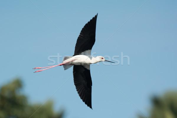 Black-winged Stilt (Himantopus himantopus) in flight Stock photo © davemontreuil