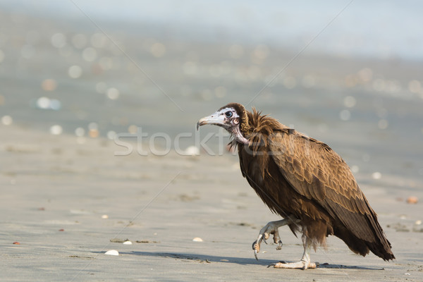 Hooded Vulture (Necrosyrtes manachus)  stalking up the beach Stock photo © davemontreuil