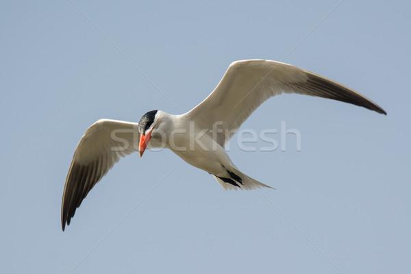 Caspian Tern in flight Stock photo © davemontreuil