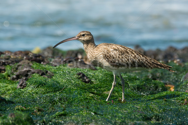 Whimbrel walking on a bed of seaweed Stock photo © davemontreuil