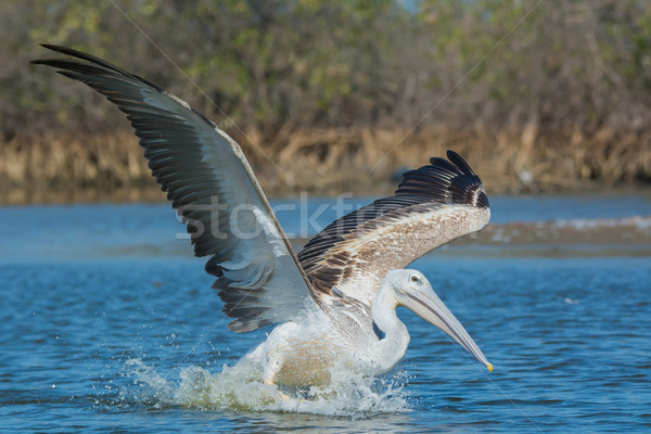 Pink-backed Pelican landing for a fishing strike Stock photo © davemontreuil