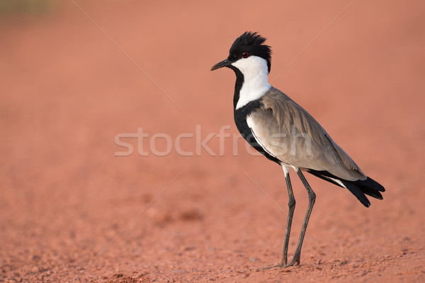 Spur-Winged Lapwing (Vanellus spinosus) standing on a red dirt r Stock photo © davemontreuil