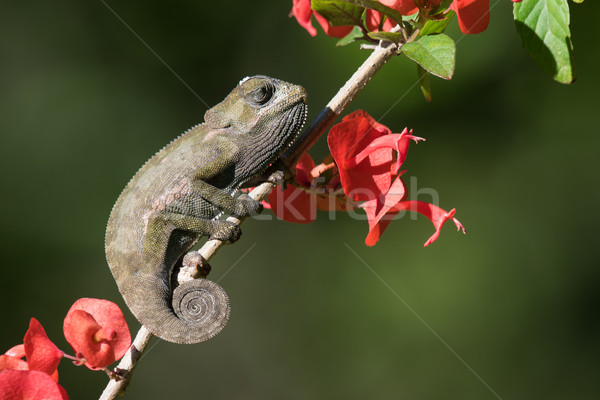 Flap-necked Chameleon baby (Chameleo dilepis) sleeping in the su Stock photo © davemontreuil