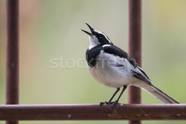 African pied wagtail (Motacilla aguimp) singing from a metal per Stock photo © davemontreuil
