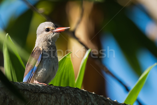 Kingfisher juvénile animaux africaine Malawi brun Photo stock © davemontreuil