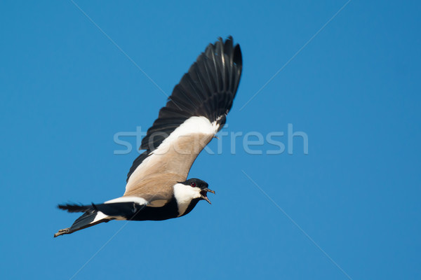 Spur-Winged Plover (Vanellus Spinosus) screeching in Flight Stock photo © davemontreuil