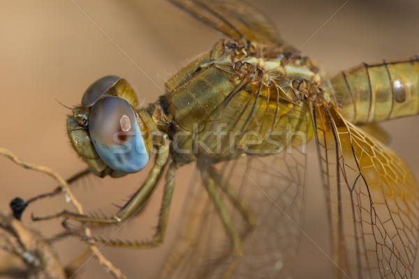 Female Scarlet Dragonfly perched on a root Stock photo © davemontreuil