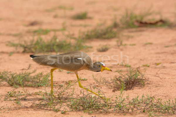 African Wattled Plover crouching Stock photo © davemontreuil