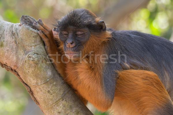 Sleeping Western Red Colobus Monkey Stock photo © davemontreuil