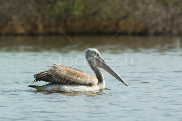 Pink-backed Pelican floating in the mangroves Stock photo © davemontreuil