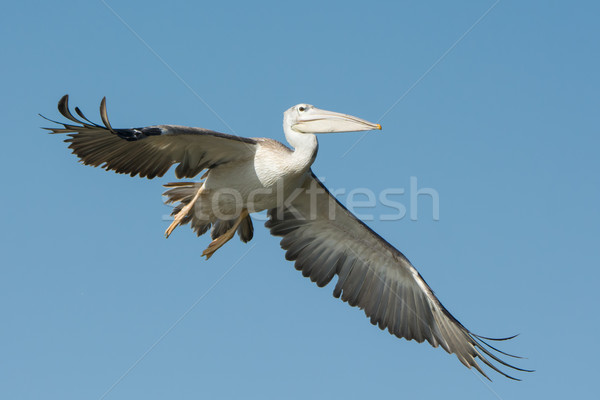 Pink-backed Pelican (Pelecanus rufescens) in flight Stock photo © davemontreuil