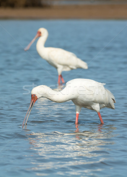 African Spoonbill searching for food. Stock photo © davemontreuil